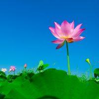 ec33b20b2df21c3e81584d04ee44408be273eadd18b5124295f9_640_lotus